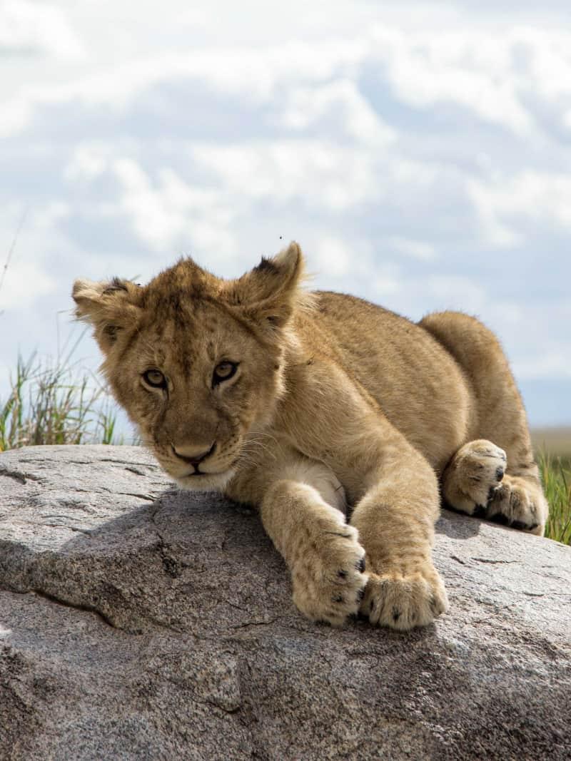 Lion Cub - Serengeti National Park