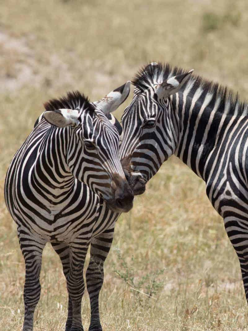 Zebra - Tarangire National Park