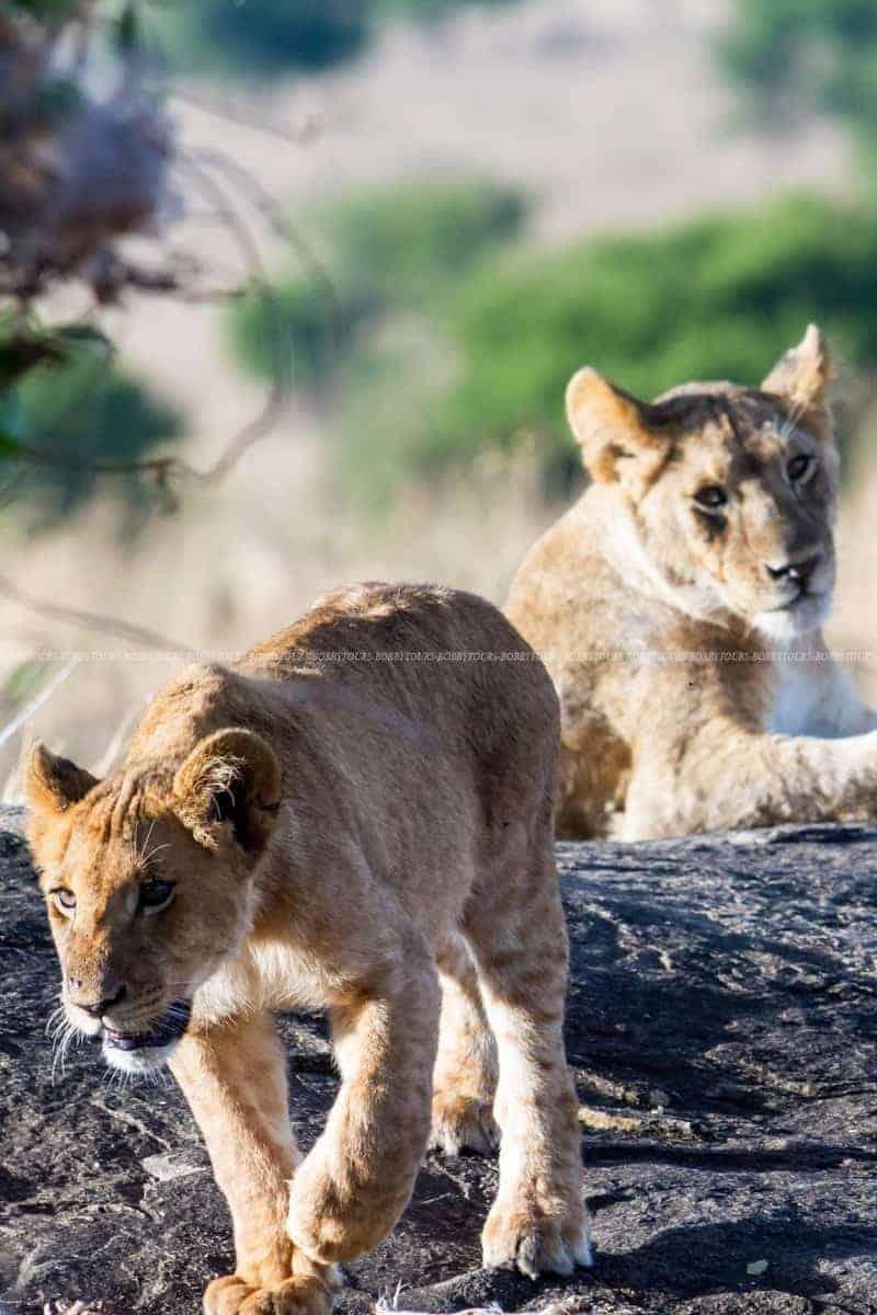 Lion and Cub - Serengeti National Park