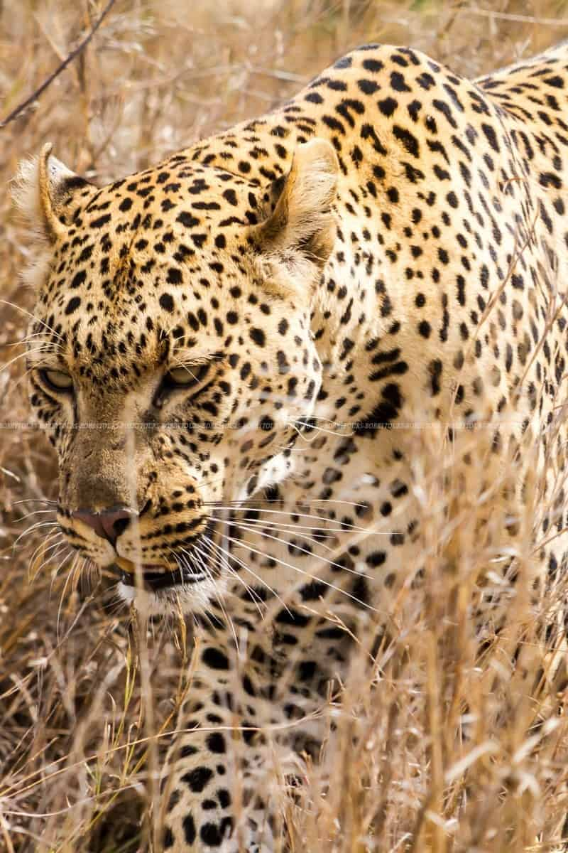 Leopard - Serengeti National Park
