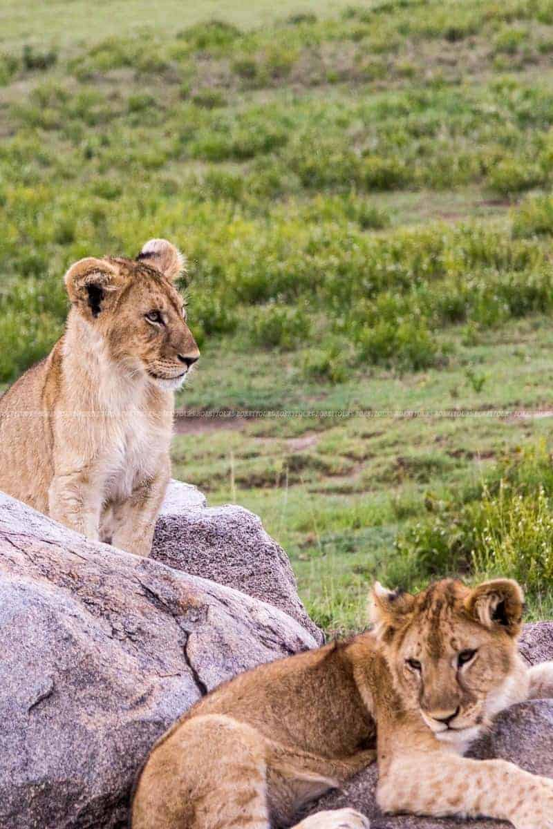 Lion Cubs - Serengeti National Park