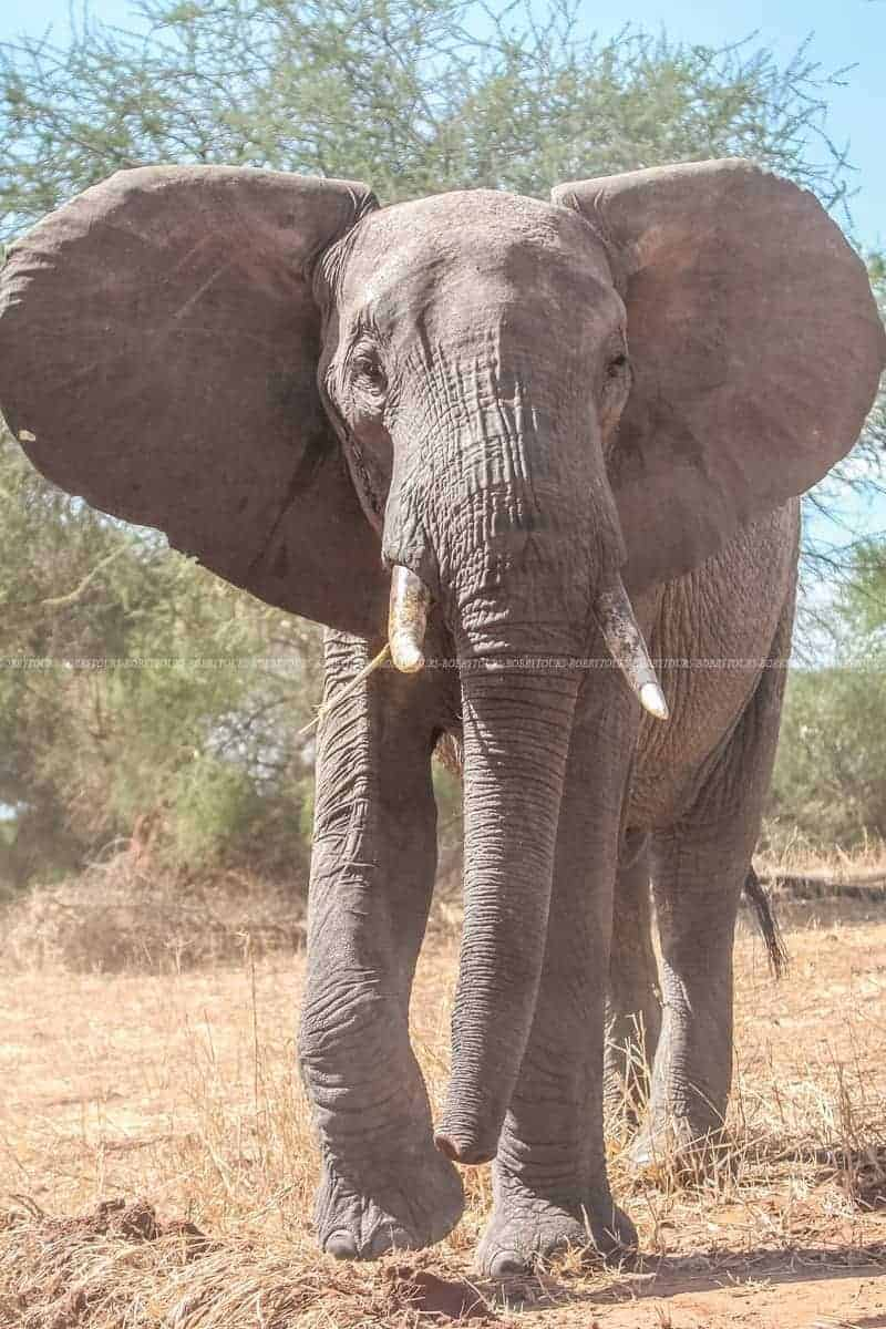 Elephant_Tarangire