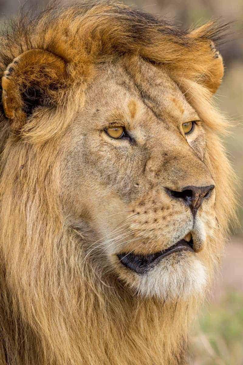 Lion - Ngorongoro Crater