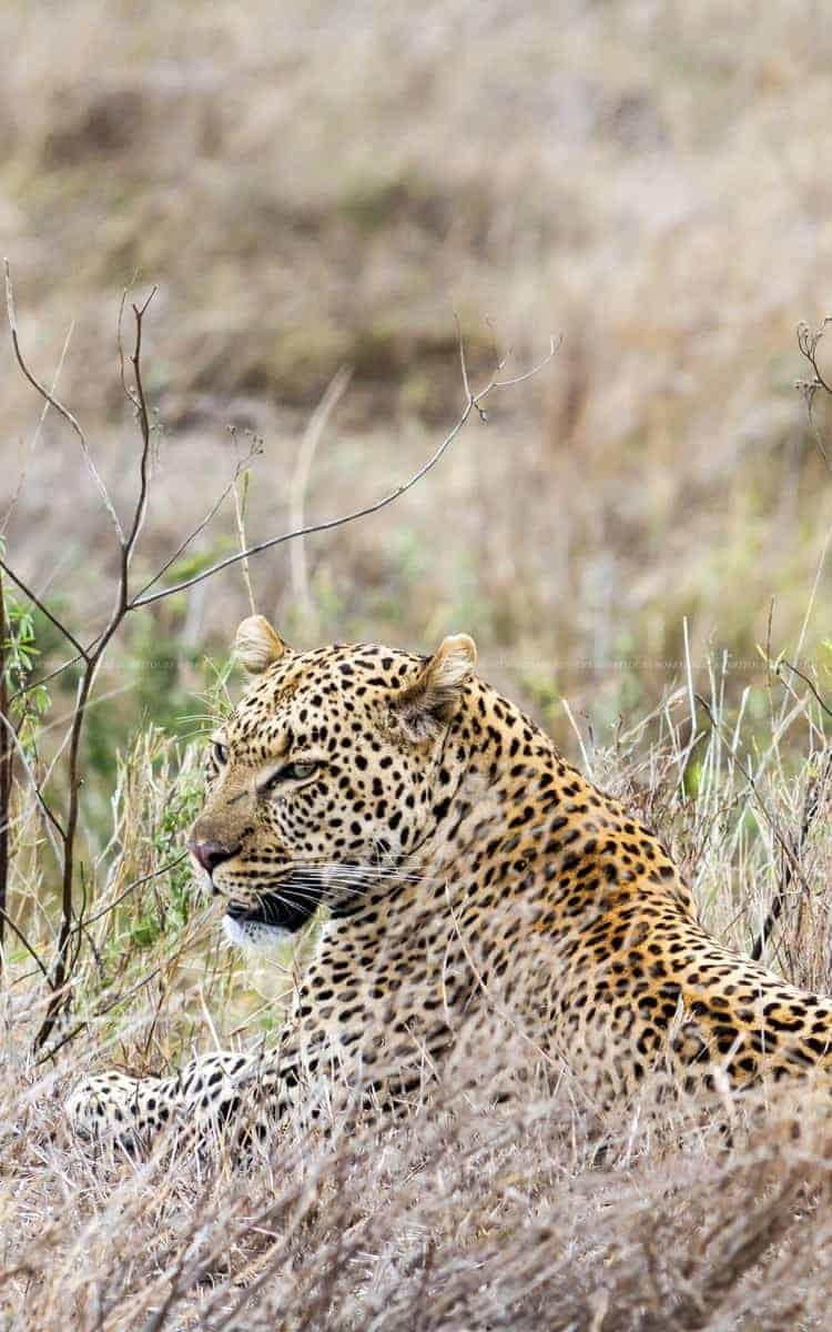 Leopard_Serengeti
