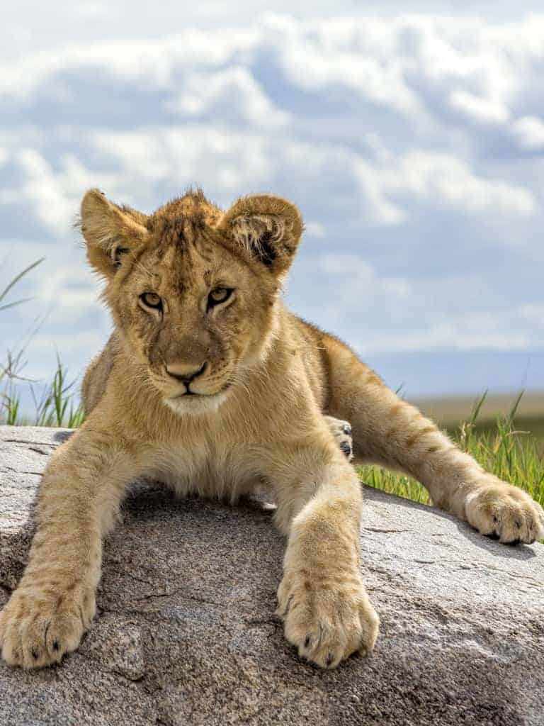Lion Cub - Serengeti National Park