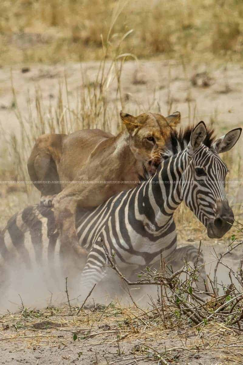 Lion attack Zebra - Tarangire Park