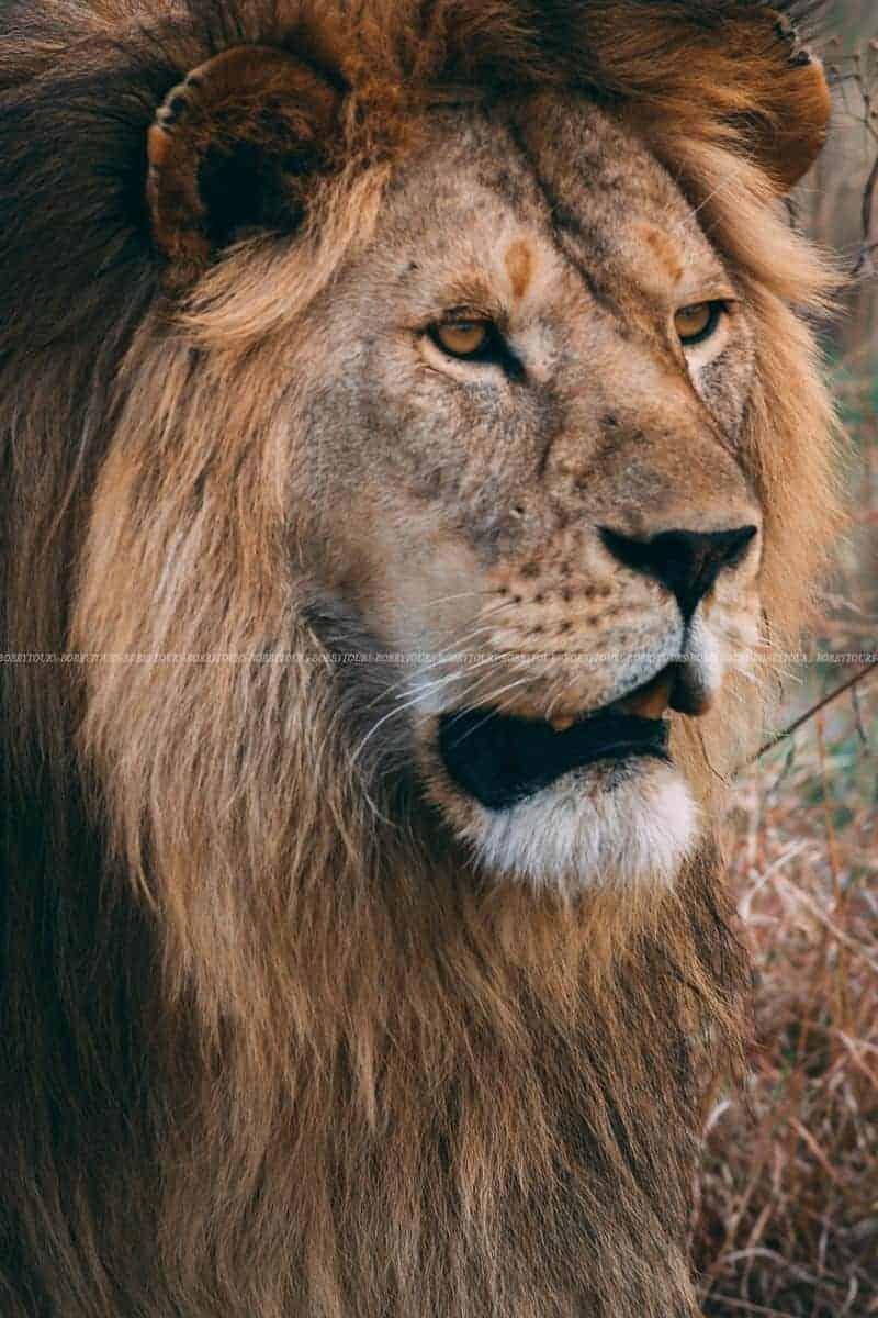 Serengeti Lion Male