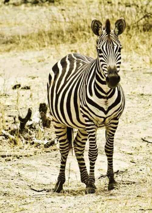 Zebra Tarangire Park