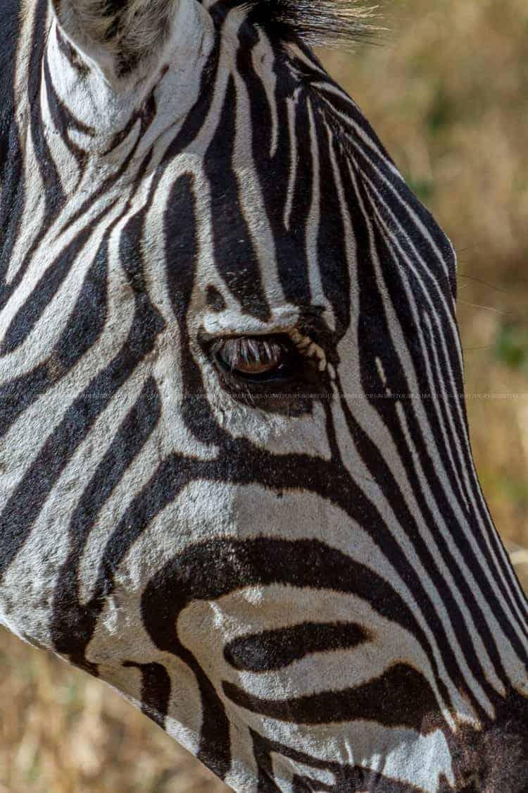 Zebra Ngorongoro